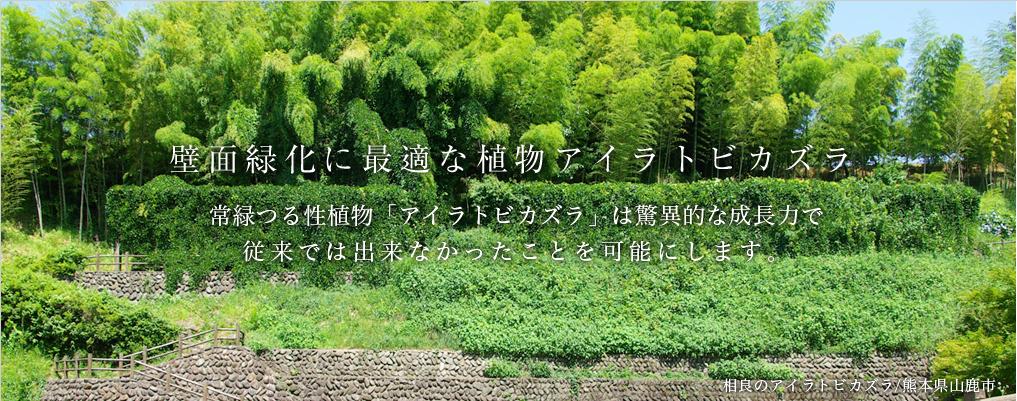 壁面緑化使用ヘデラより10倍発育が速く高温に強い常緑つる性植物アイラトビカズラ使用の、完成度のたかい壁面緑化ブログ